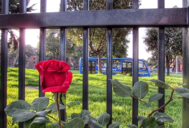 Un rosal crece al interior de un conjunto residencial y, tras la reja, un bus del SITP hace su recorrido pese a estar completamente vacío.