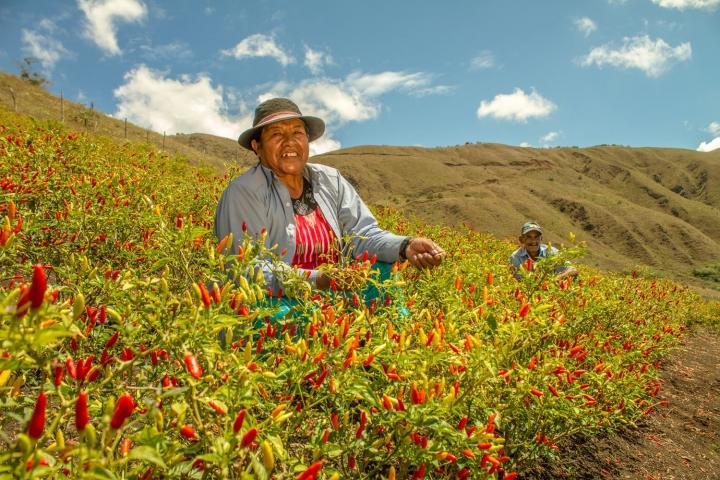 Ají: el cultivo del precio justo