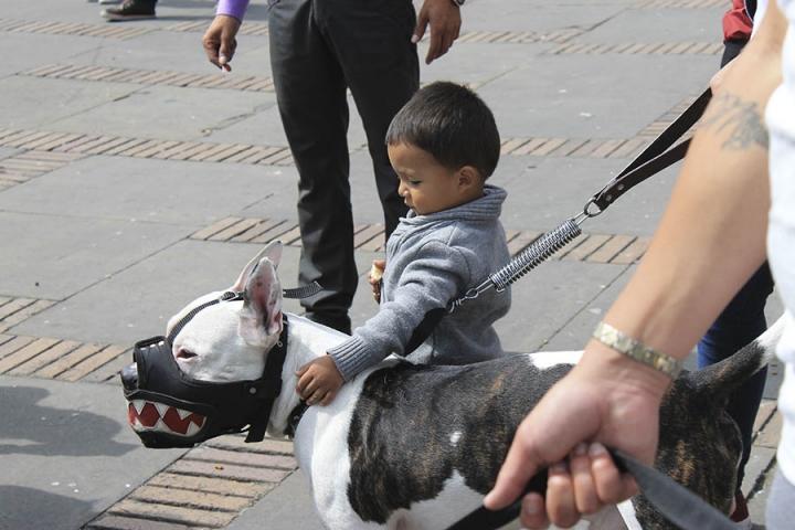 El artículo 124 del Código nacional de policía y convivencia, en su numeral cuarto estipula que, trasladar un canino de raza potencialmente peligrosa (como lo son los pitbull) en el espacio público sin el uso de bozal, tralla o demás implementos establecidos por la norma vigente. El incumplimiento de esta norma implica una multa de segundo grado.