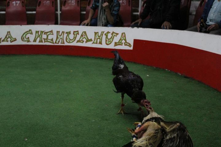 Las peleas de gallos continúan en Bogotá.