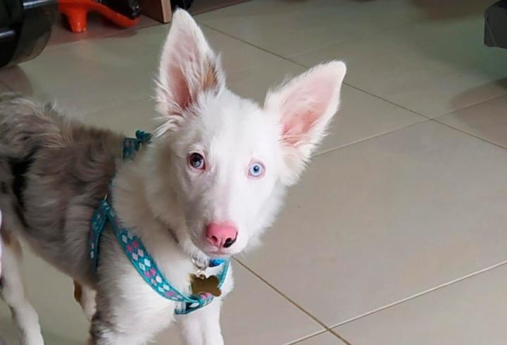 Ela es una perrita de raza Border Collie de 8 meses de edad