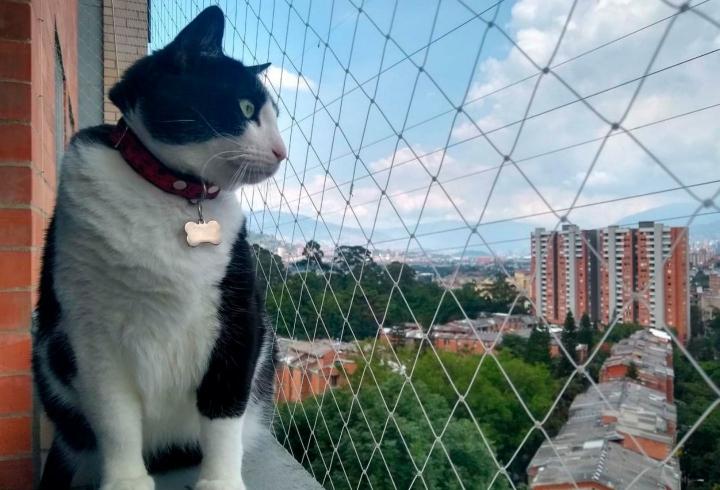 Apolo es un gato adoptado criollo de 5 años