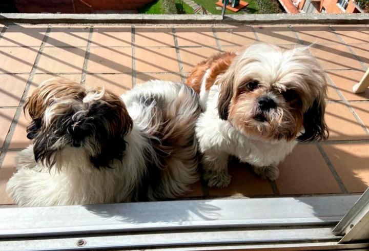 Ramona y Lupita son dos perritas Shitzu de 8 meses y 6 años