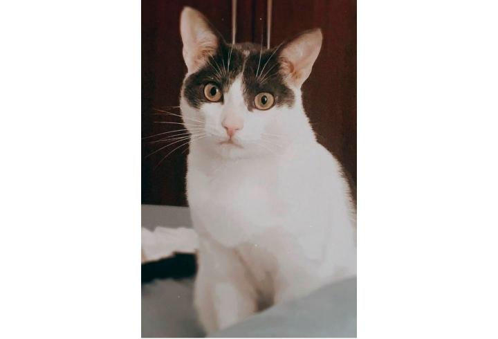 Dino es un gato criollo de un año y medio de edad