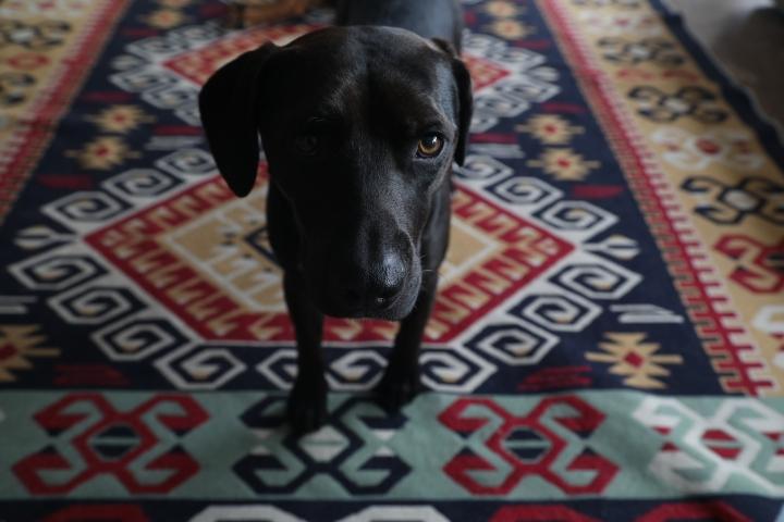 Retrato a Bobby, un perro rescatado de las calles, que fue rescatado por un galés y llevado a Gales con su familia