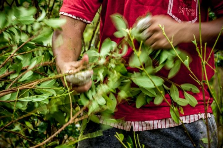 Los cultivos de coca fueron sustituyéndose paulatinamente por cultivos de pancoger. Foto: Alejandro Cock-Peláez / Flickr
