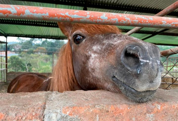 Los turistas a lo largo del recorrido se encontraran con los equinos, como este amigable caballo que se acerca al muro para saludar.