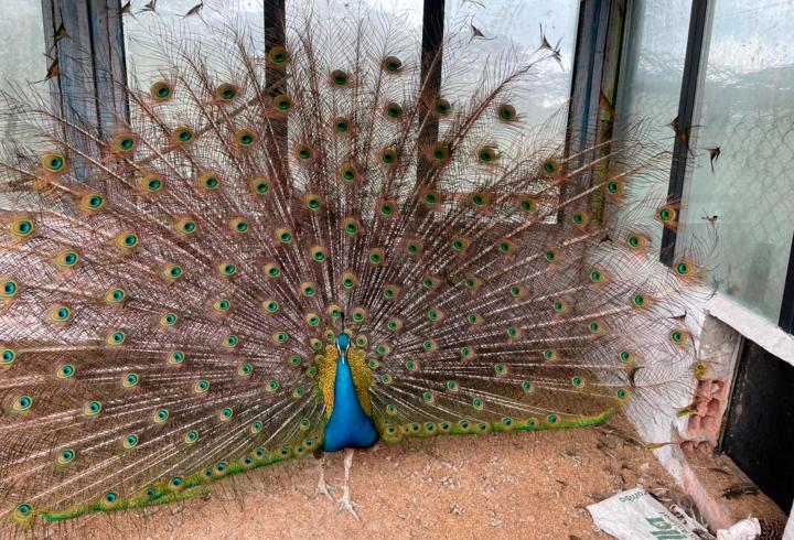 Entre los atractivos del lugar encontramos a los pavos reales, como este hermoso ejemplar que extiende sus plumas iridiscentes. Normalmente, esta acción la realizan para sus rituales de cortejo y apareamiento.