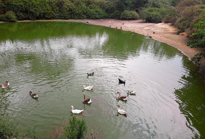 Al frente de las avestruces se encuentran los patos, que se acercan amigablemente para recibir el alimento que les pueden dar los visitantes.